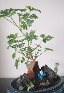 Scented Pelargoniums Mexican Sage bonsai on carved driftwood