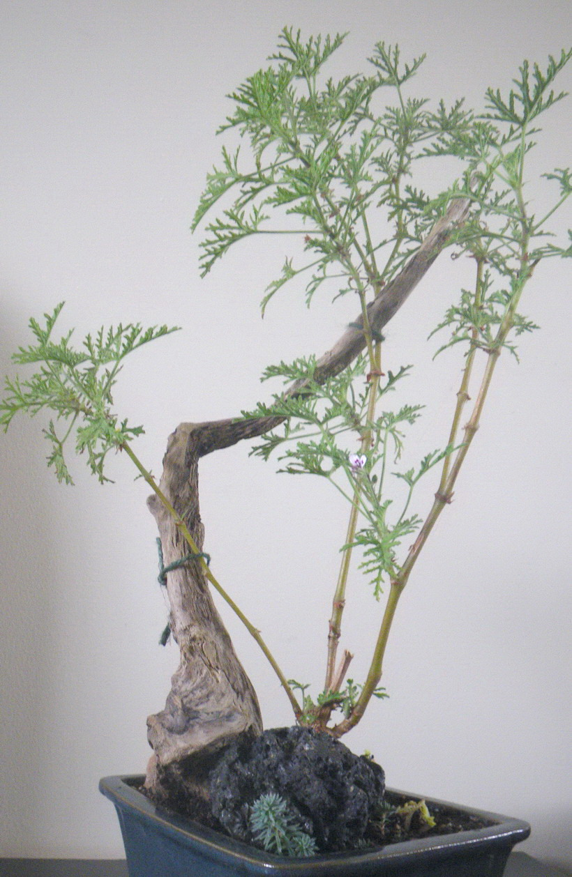 Scented Leaf From Driftwood And Rocks To Bonsai Art