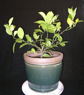 Dwarf Lemon tree  -  Citrus Lemon variety