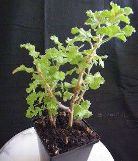 Pelargonium Snowflake small plants