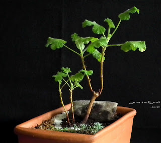 Miniature living pelargonium bonsai Snowflake