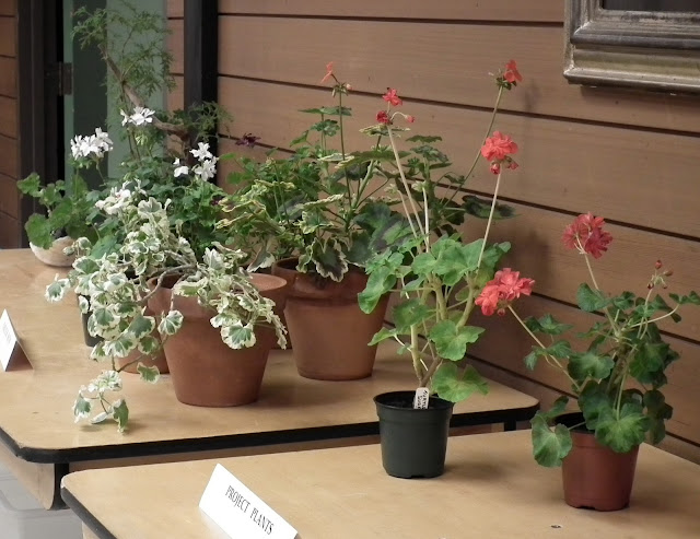 Geraniums and pelargoniums display at October meeting of Canadian and Geranium Society