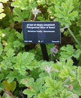 Scented Geranium Attar of Roses at VanDusen Garden