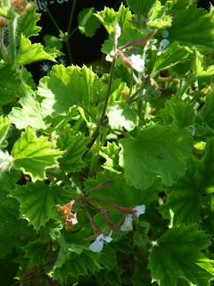 Scented Geranium Old Spice at VanDusen Garden