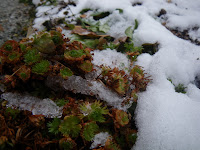 accent plants in snow