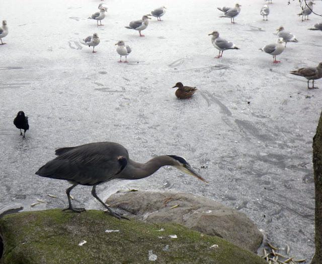Blue Herron and seagulls were fed when the Lost Lagoon was frozen