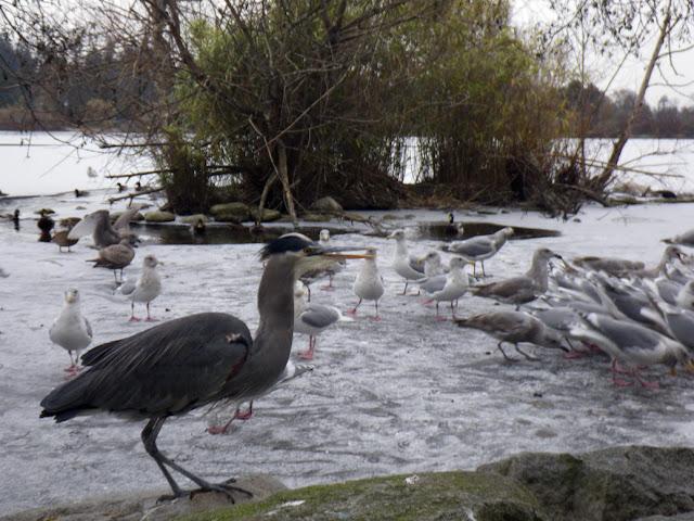 Blue Herron and seagulls,  Lost Lagoon in winter