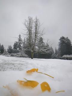 Ginkgo biloba tree, Stanley Park, Vancouver