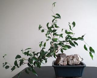Ficus Wiandi semi-cascade bonsai