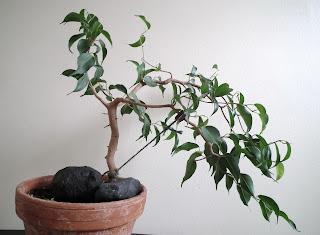 Ficus Wiandi windsept bonsai