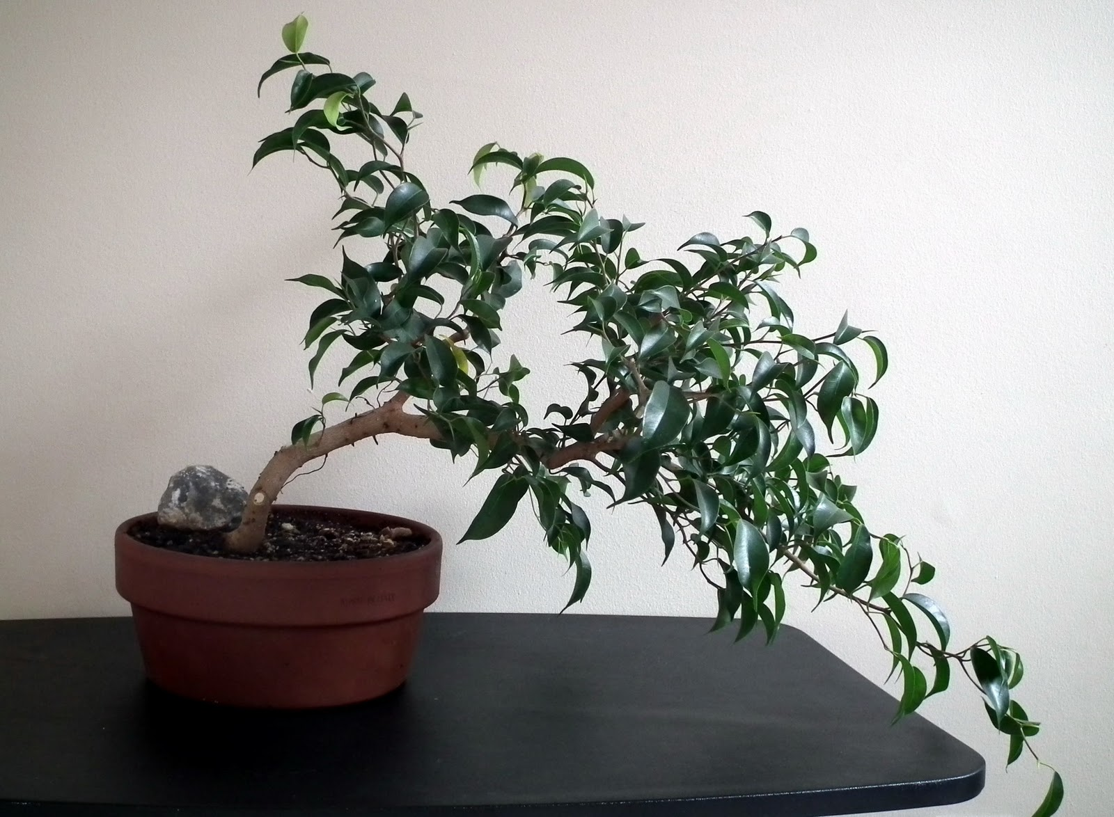 Scented Leaf Ficus Wiandi Air Purifying Bonsai