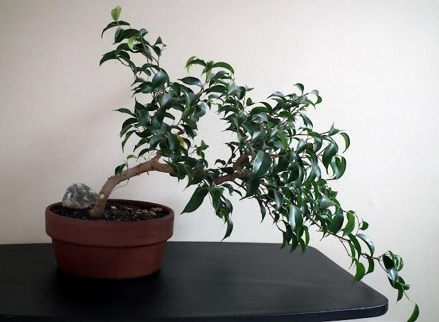 Ficus Wiandi cascade bonsai