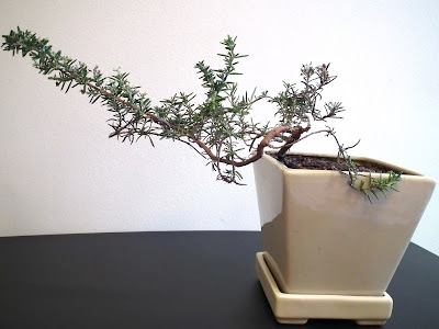 Trailing Rosemary in training as indoor bonsai