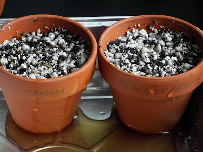 Watering pelargonium seeds sowed in sterilized germination mix
