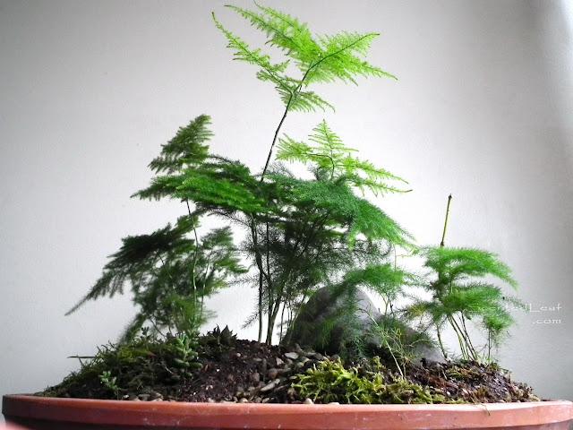 Saikei / miniature garden with seven asparagus fern plants and mountain stone
