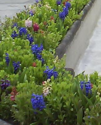 Hyacinthus orientalis flowerbed