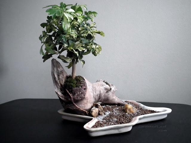 Schefflera Arboricola, variegated plant potted in driftwood