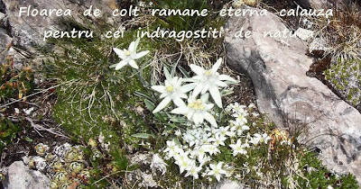 Edelweiss ecard / Floare de colt