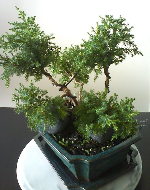 Juniperus ChinensisDaub's Frosted bonsai- Sankan style