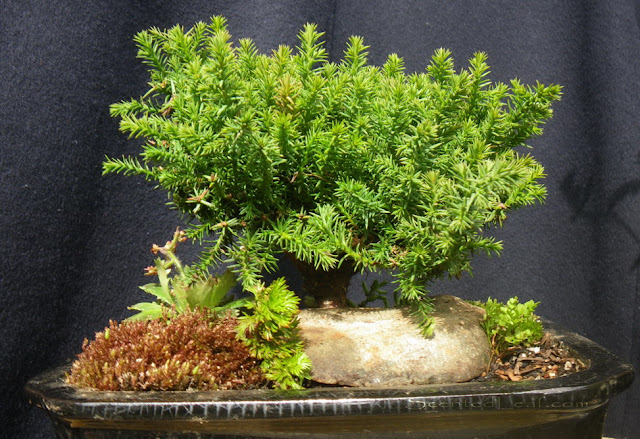 Juniperus Procumbens Nana bonsai (15 cm tall)