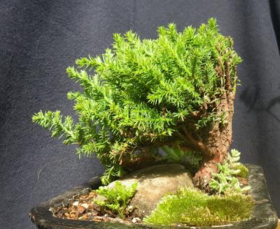 Juniperus Procumbens Nana bonsai - Kabudachi style