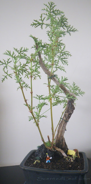 Rose- Scented Geranium on driftwood with branches in the form of columns