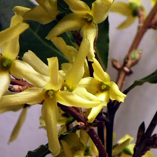 Forsythia flowers in bloom