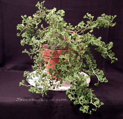 Scented Pelargonium Citrosum  (Prince of Orange) prebonsai