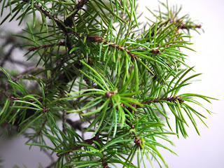 Picea Pungens Globosa green noodles with new shoots
