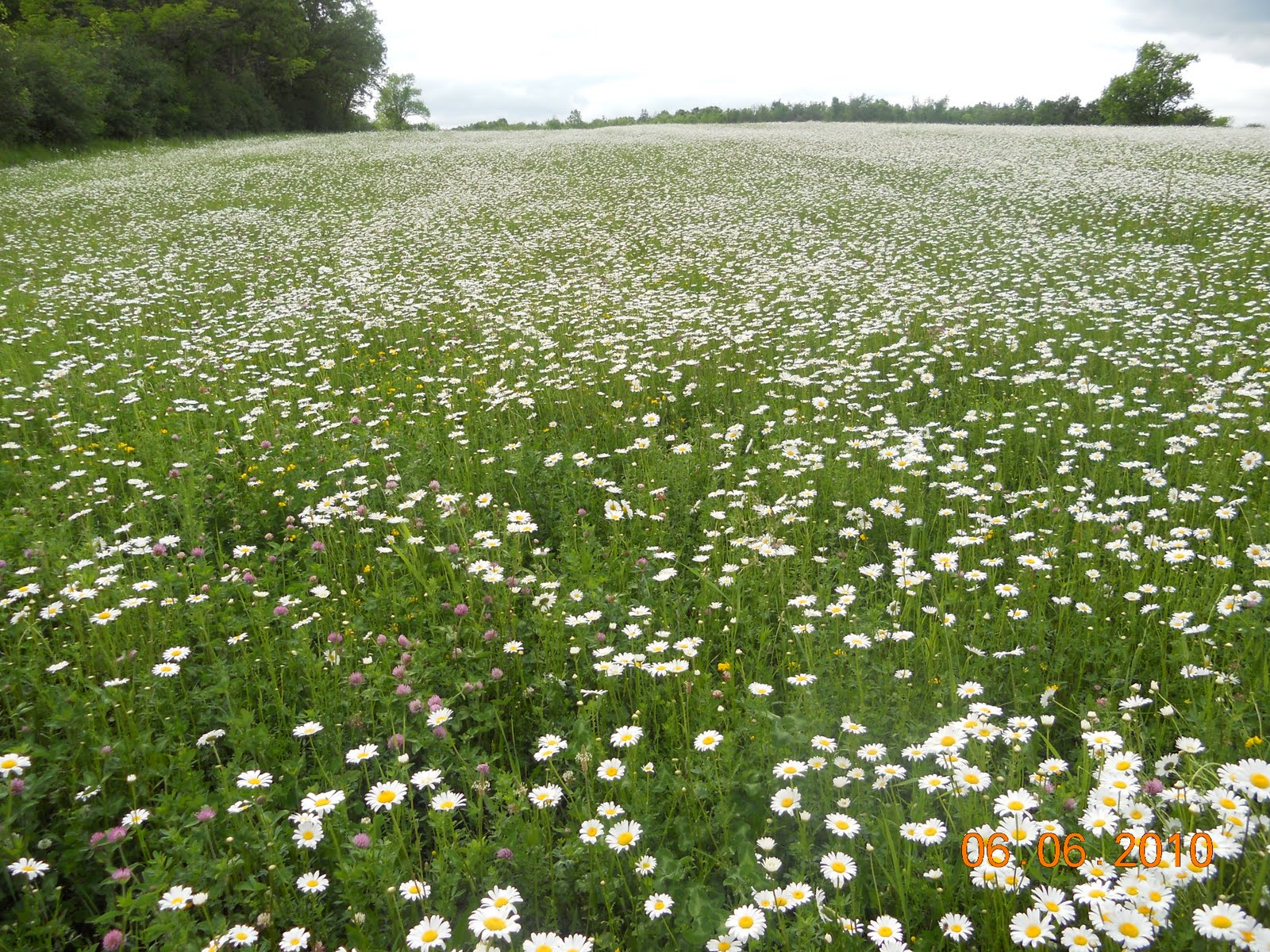 frontporchpoetry-janet: Field of Daisies Field Of Daisies