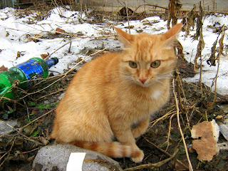 Yellow-Eyed Red Mackerel Tabby Scary Kitty