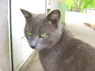 Green Eyes Smoky Hungry Cat