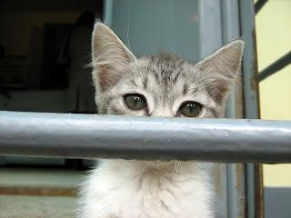 Little Siamese Poor Beggar Kitten. Part Two.