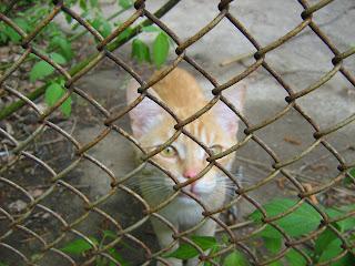 Ginger Thin Cat