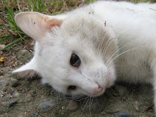 Dead White Cat