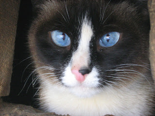Shy Sky-Blue-Eyed Siamese Cat