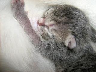 Newborn Smoky Kitten