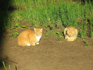 Ginger Twins Cats