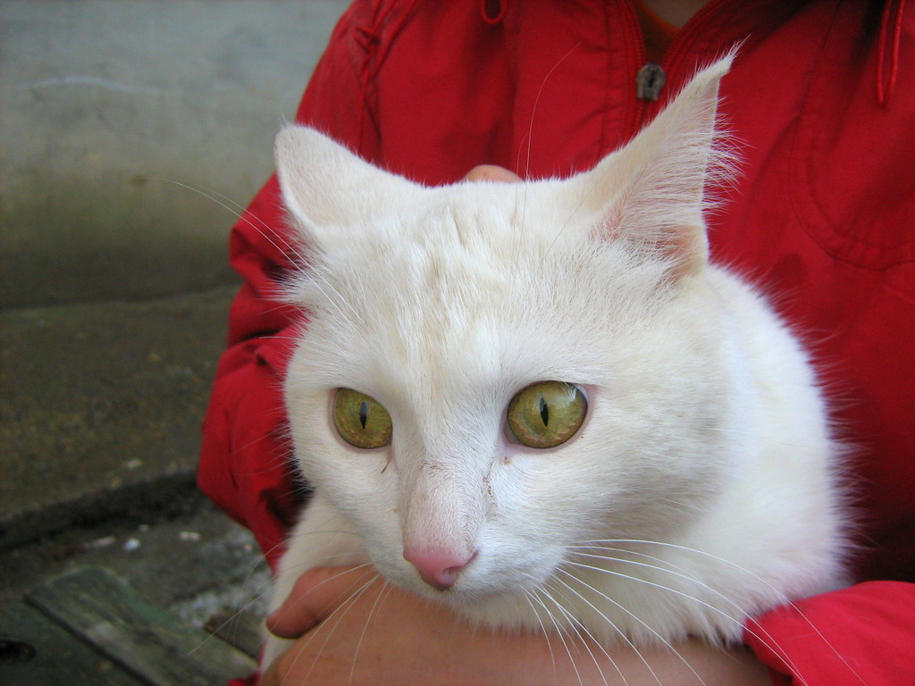 "Young White Cat ""Snowball"" Part e — Russian Cats"