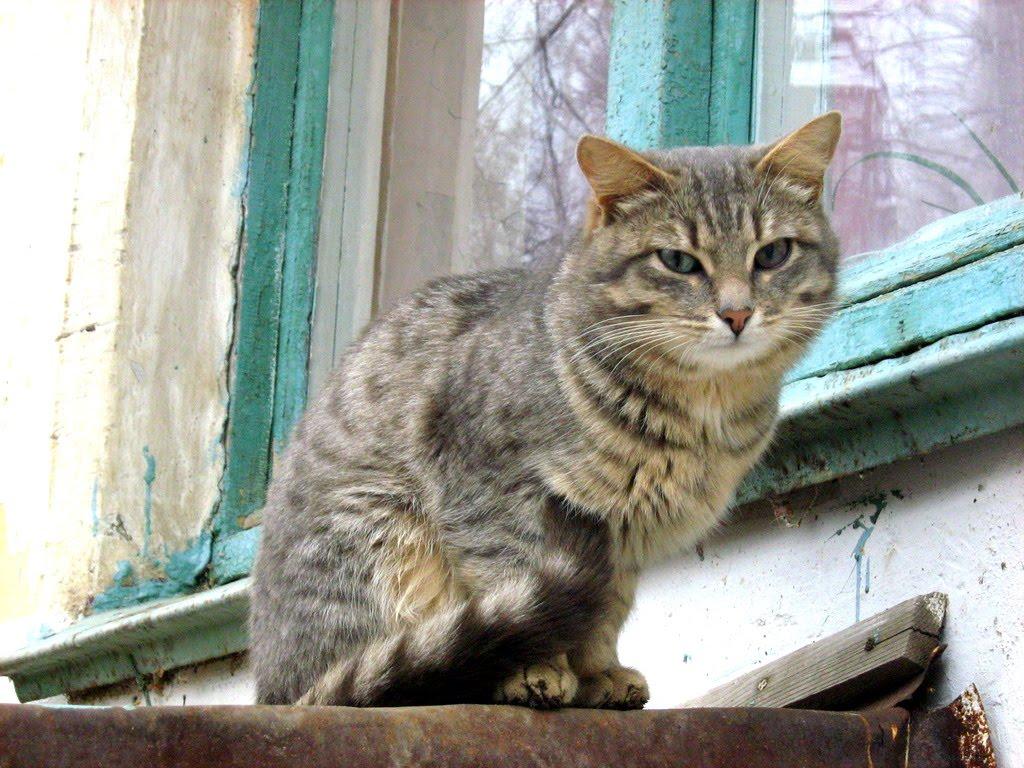 Blue Mackerel Tabby Siberian Cat