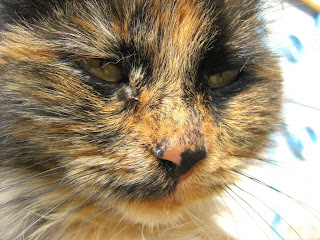 Old Tortoiseshell Kitty