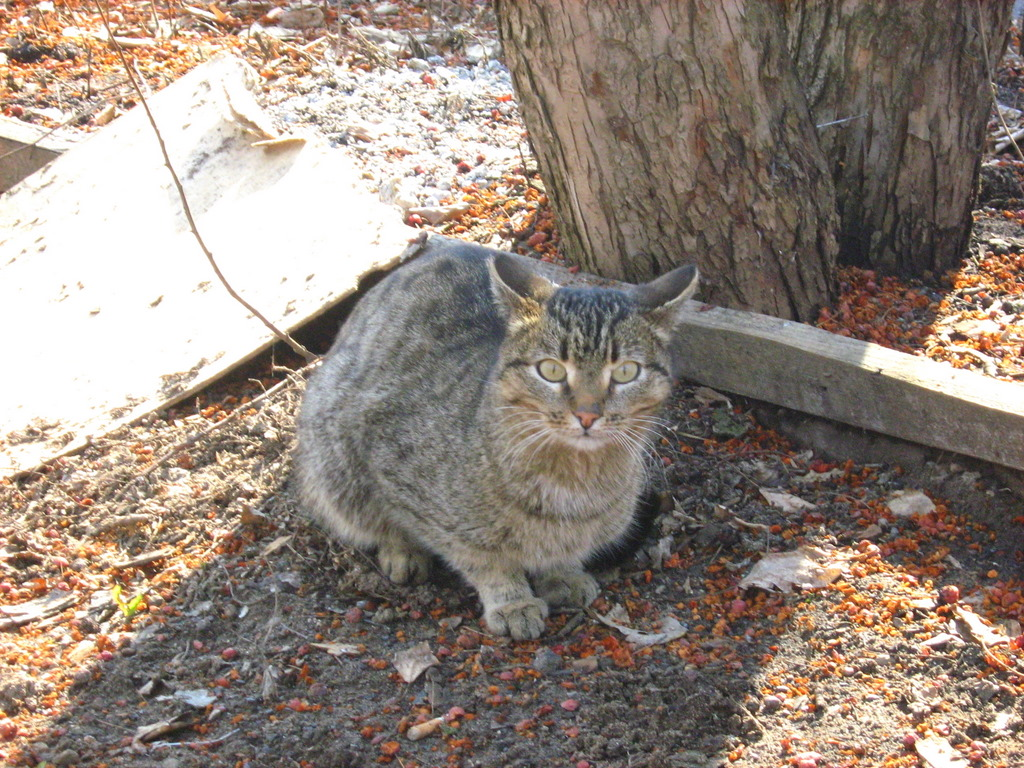 Goggle-Eyed Thin Tabby Cat