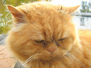 Ginger Fat-Cat