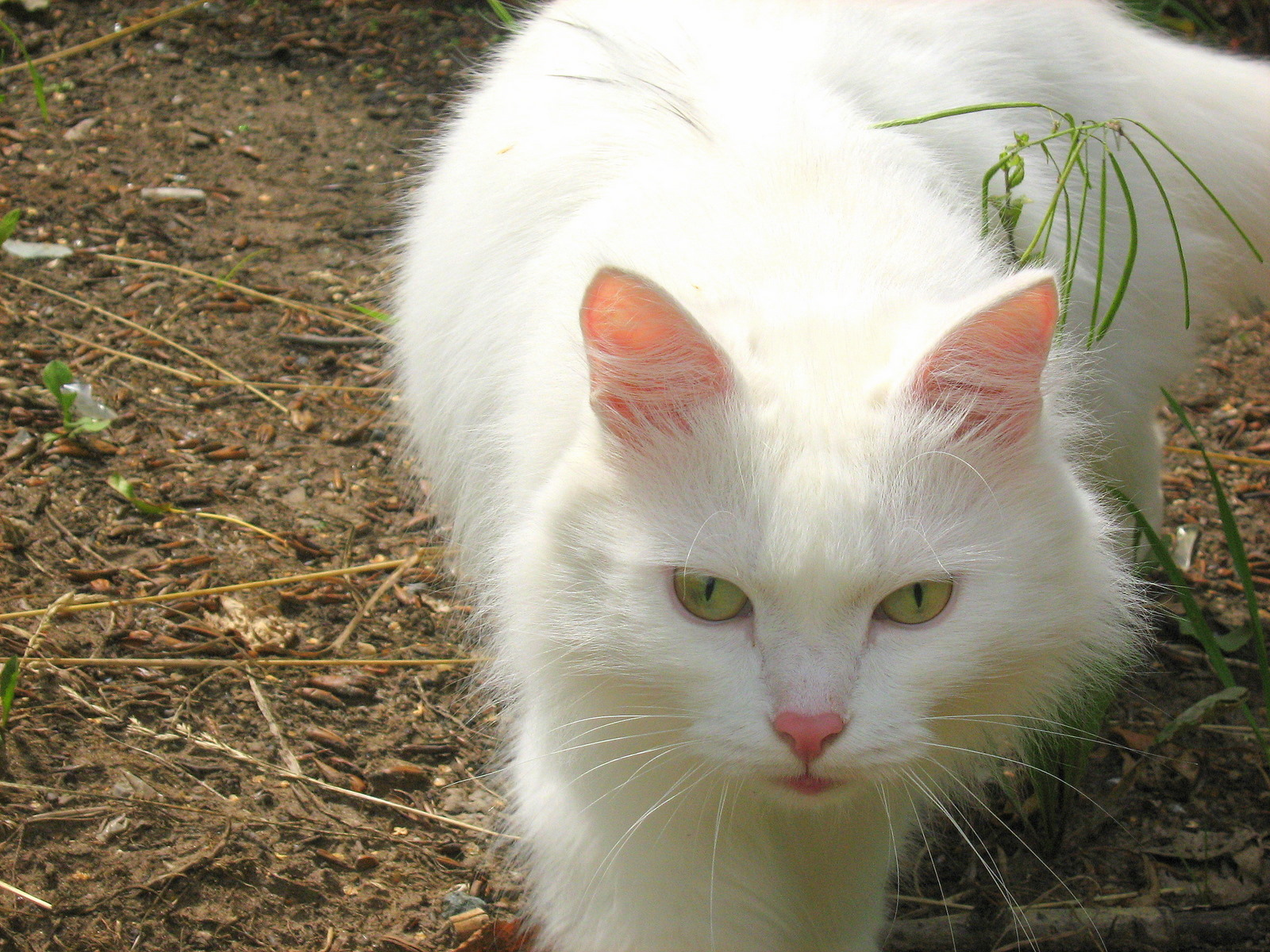 signs of heartworm in cats