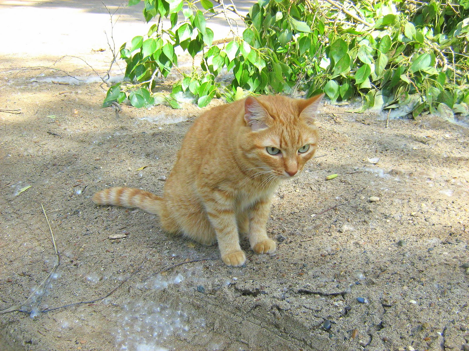 turquoise eyes ginger cat  u2014 russian cats pictures