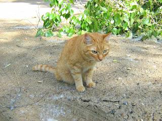 Turquoise Eyes Ginger Cat