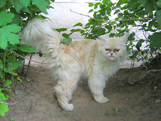 Ugly White Cat