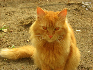 Red Eyed-Red Mackerel Tabby Sad Cat