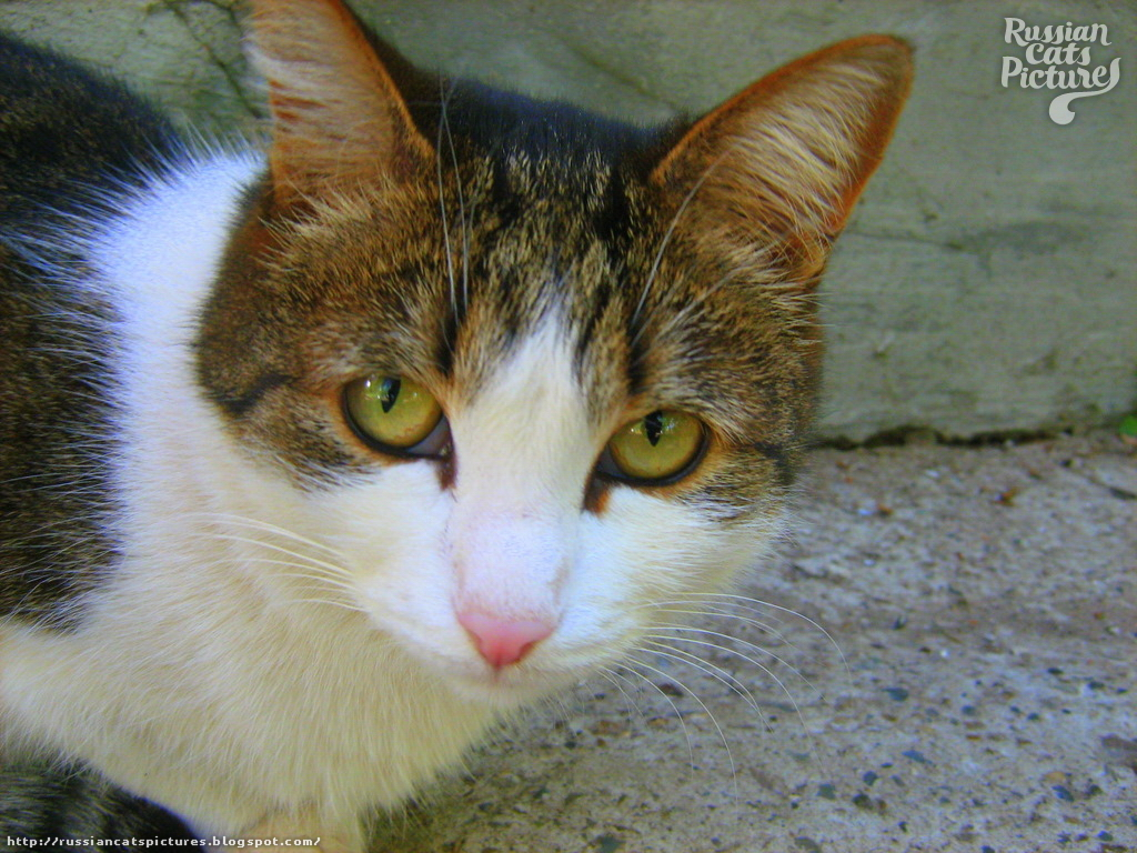 Yellow-Eyed Brown Mackerel Tabby with White Distrustful Kitty