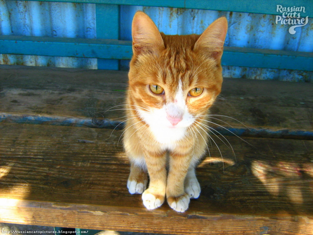 Orange-Eyed Red Mackerel Tabby with White Happy Cat